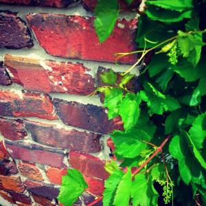 Vinska trta ob zidu